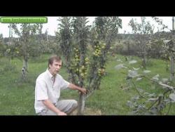 "Колоновидная яблоня ""Арбат"""