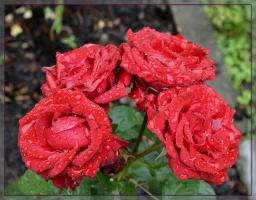 розы после дождя.