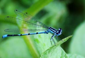 Стрекоза с огромными синими глазами...