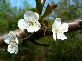 Трио весны.
