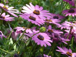 Ромашки в фиолетовом