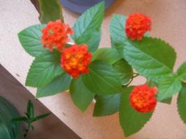 цветение маленьких лантан