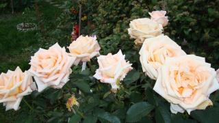 Роза-любимица