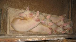 Мои свинюшки