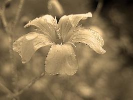 Июльские росы. Гипсофила