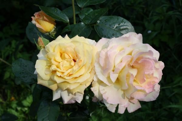 Роза Глория.