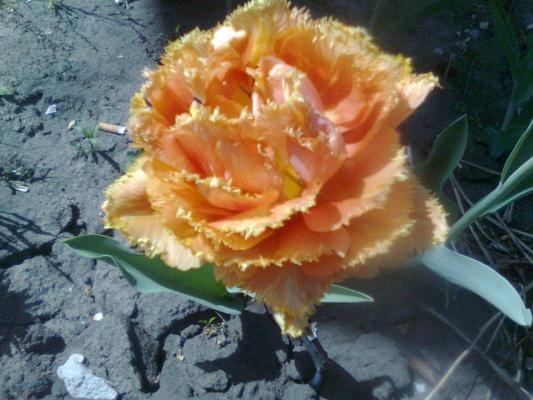 Мой новый белый тюльпан