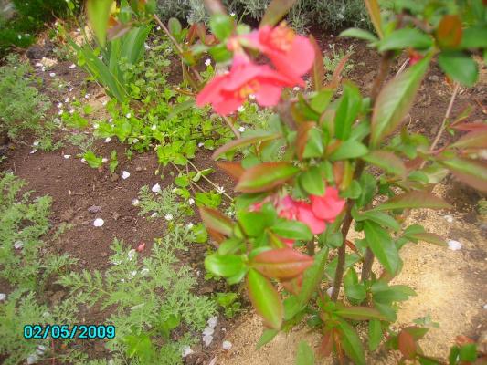 Цыдония---тюльпановое дерево