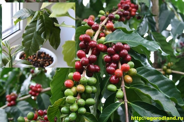 Ягоды кофейного дерева